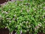 Renouée, Persicaria runcinata
