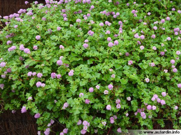 renou u00e9e  persicaria runcinata   planter  cultiver  multiplier