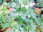 Persil plat, Petroselinum crispum var. neapolitanum