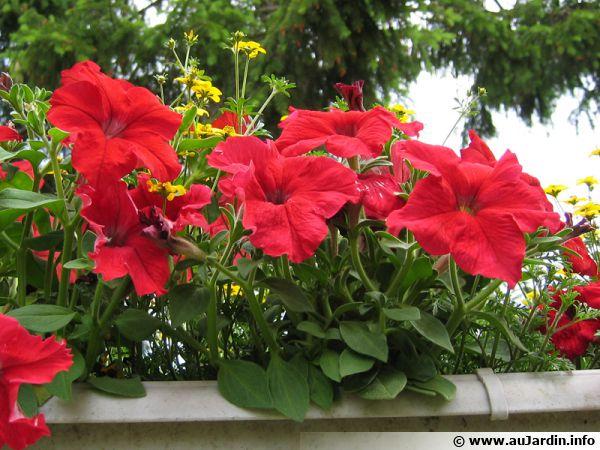 Pétunias rouges en jardinière