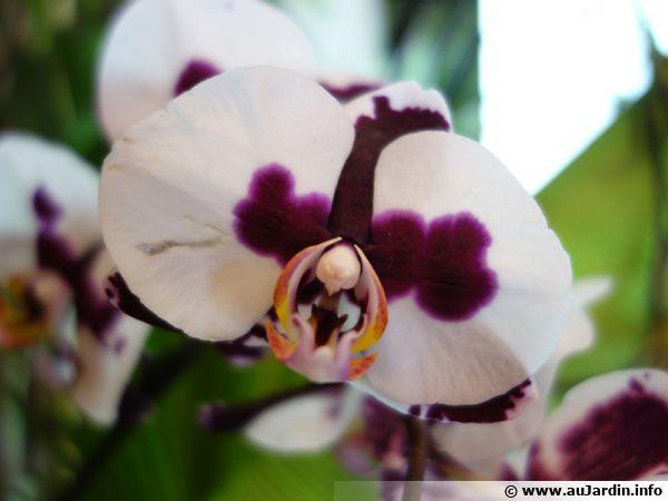 Questions fréquentes sur le Phalaenopsis