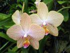 Bien choisir son Phalaenopsis