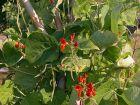Haricot d'Espagne, Haricot écarlate, Phaseolus coccineus