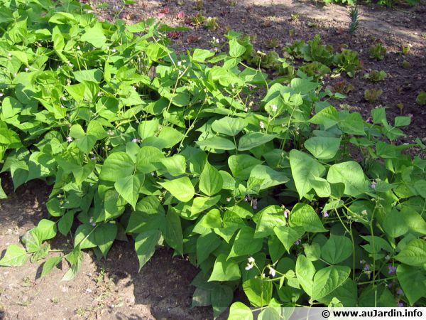 planter les haricots verts