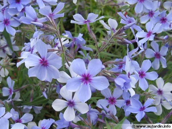 phlox des prairies  phlox pilosa   planter  cultiver