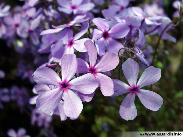 Phlox Spring Dawn, Phlox x glutinosa 'Spring Dawn'