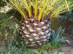 La taille des palmiers