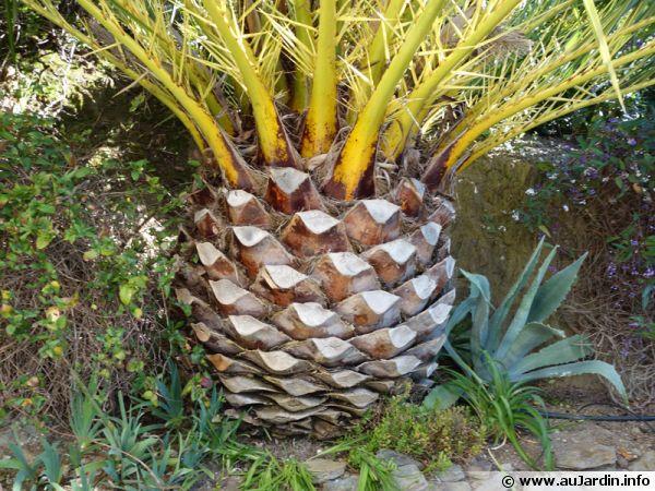La taille des palmiers - Racine d un palmier ...
