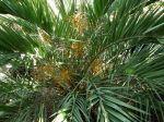 Palmier dattier de montagne, Phoenix loureiroi