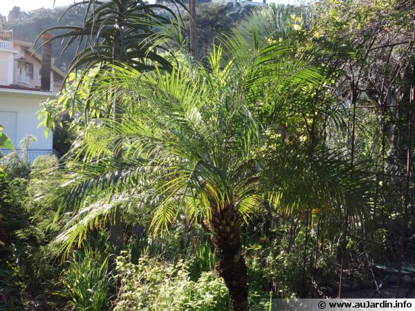 Dattier du m kong palmier dattier nain phoenix roebelenii for Palmier nain exterieur