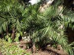 Palmier dattier de Ceylan, Phoenix pusilla