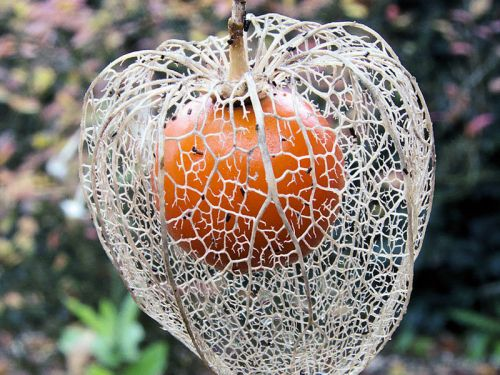 Alk kenge amour en cage lanterne japonaise ou chinoise planter cultiver - Fruit cage d amour ...