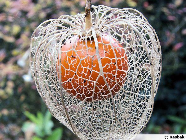 Physalis amour en cage alk kenge lanterne japonaise for Plantes japonaises