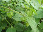 Coqueret du Pérou, Physalis peruviana, fruit pas encore mûr