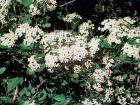 Physocarpe, Bois aux sept écorces, Physocarpus