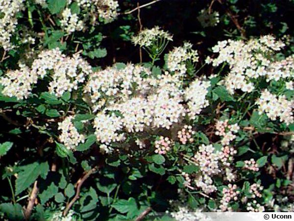 Fleurs de Physocarpus, Physocarpe, Bois aux sept écorces