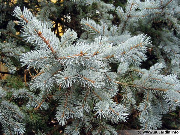 Epicéa du Colorado, Sapin bleu, Epinette bleue, Picea pungens 'Hoopsii'