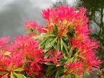 Androm�de du Japon, Pi�ris, Pieris japonica 'Flaming Sylver'