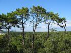 Pin maritime, Pin des Landes, Pinus pinaster