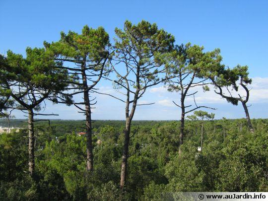 pin maritime pin des landes pinus pinaster