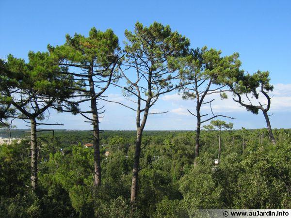 Pin maritime, Pinus pinaster, Pin des Landes