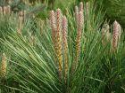 Pin parasol, Pin pignon, Pinier, Pinus pinea