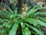 Pitcairnia maidifolia dans un jardin