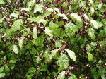 Pittospore à petites feuilles, Pittosporum tenuifolium