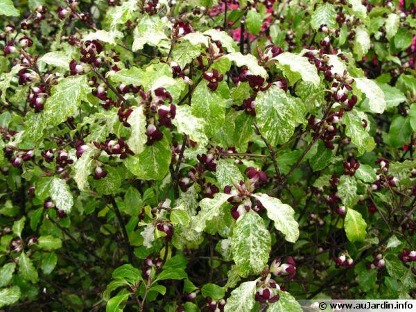 pittospore  u00e0 petites feuilles  pittosporum tenuifolium