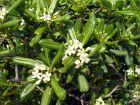 Pittospore du Japon, Pittosporum tobira