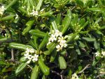 Pittospore du Japon, Pittosporum tobira