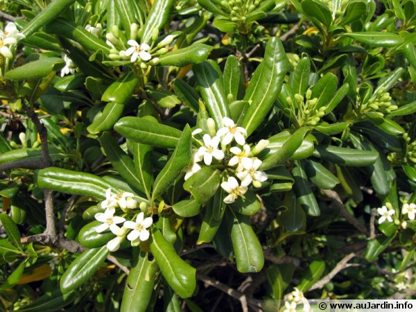 Pittosporum tobira, Laurier australien