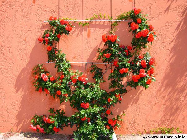 Un rosier grimpant mis en valeur sur ce support pour plantes grimpantes