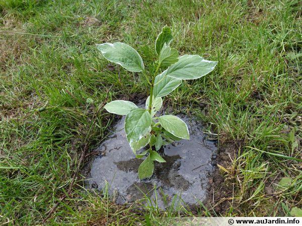 Arrosage abondant après la plantation d'un hortensia au jardin
