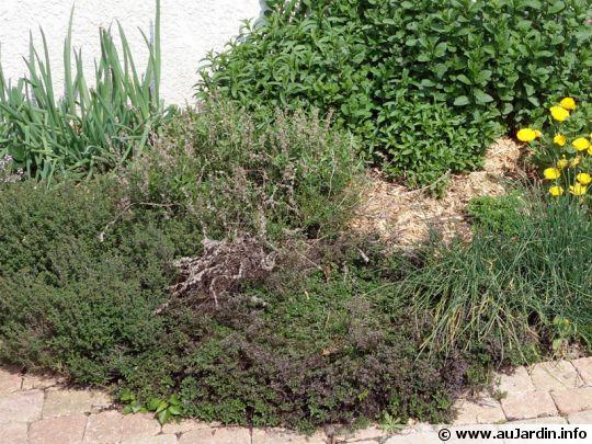 Massif de plantes condimentaires; origan, ciboulette, menthe, thym commun, thym hirsuste, ciboule, hysope...