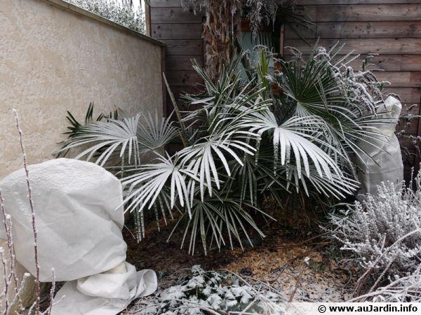 Les palmiers de Chine sont rustiques mais les 2 lauriers roses sont protégés