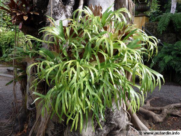 Corne de cerf, Corne d'élan, Platycerium bifurcatum
