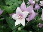 Campanule à grandes fleurs, Platycodon à grandes fleurs, Fleur ballon, Platycodon grandiflorus