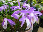 Orchidée de Formose, Pléione, Pleione formosana