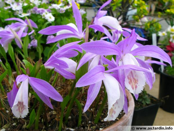 Orchidée de Formose, Pleione formosana