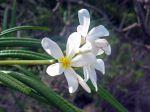 Frangipanier blanc, Fleur des temples, Plumeria alba
