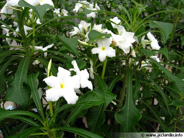 Frangipanier pudique, Plumeria pudica