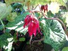 Pomme de mai, Podophyllum 'Spotty Dotty'