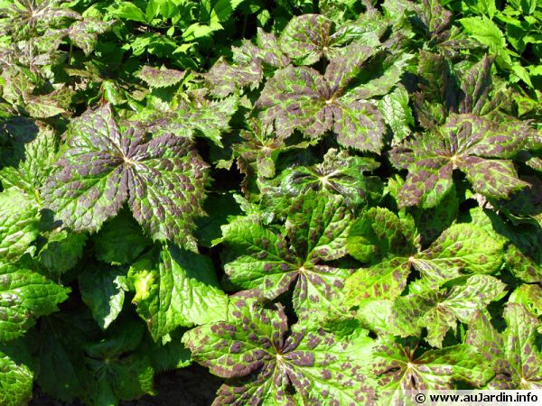 Podophylle pelté, Pomme de mai, Podophylle d'Amérique, Podophyllum peltatum
