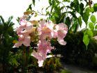 Bignone rose, Liane orchidée, Podranea ricasoliana
