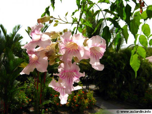 bignone rose liane orchid e podranea ricasoliana planter cultiver. Black Bedroom Furniture Sets. Home Design Ideas