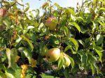 Récolte et conservation des poires
