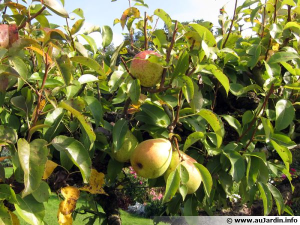 Des poires au verger avant la récolte