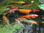 Bien choisir ses poissons pour le bassin