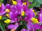 Polygale petit buis, Faux-buis, Polygala chamaebuxus var.grandiflora